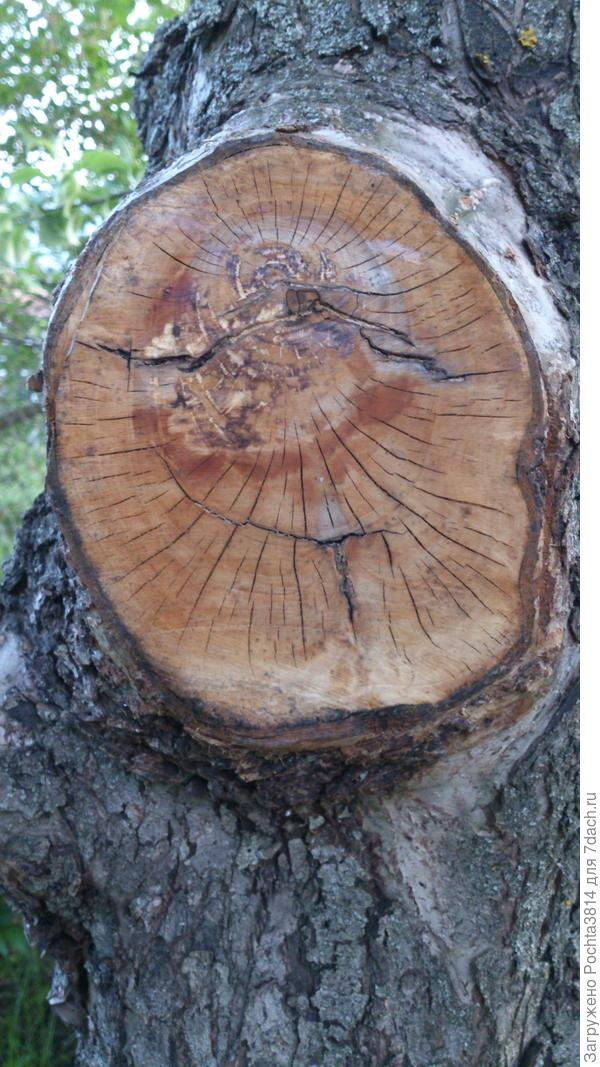 Трещины на спиле у яблони: надо ли обрабатывать чем-то срез или достаточно использовать садовый вар?