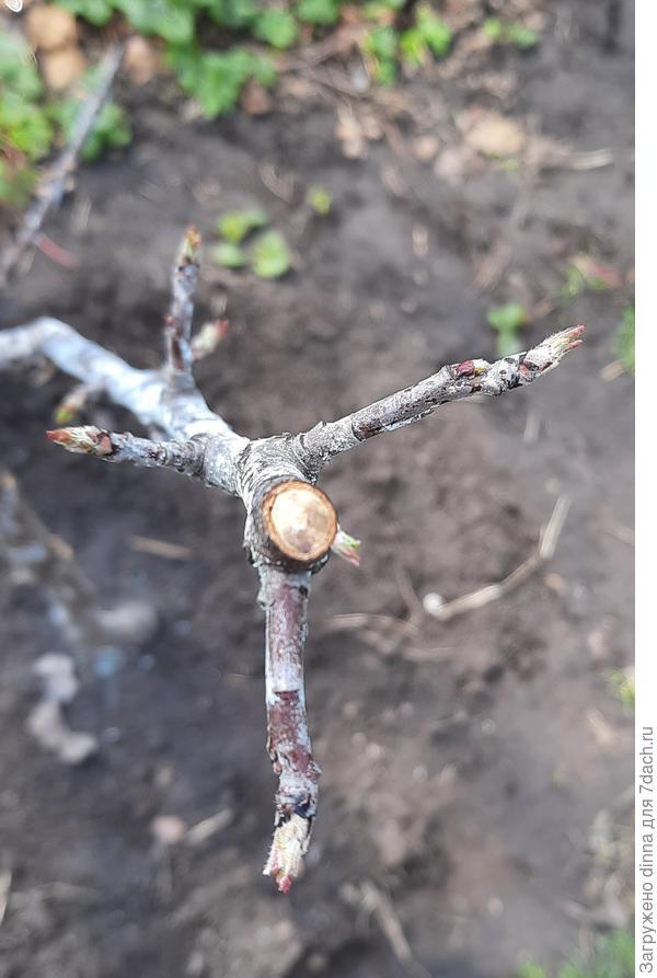У яблонь в некоторых местах после обрезки потемнели срезы. В чем причина?