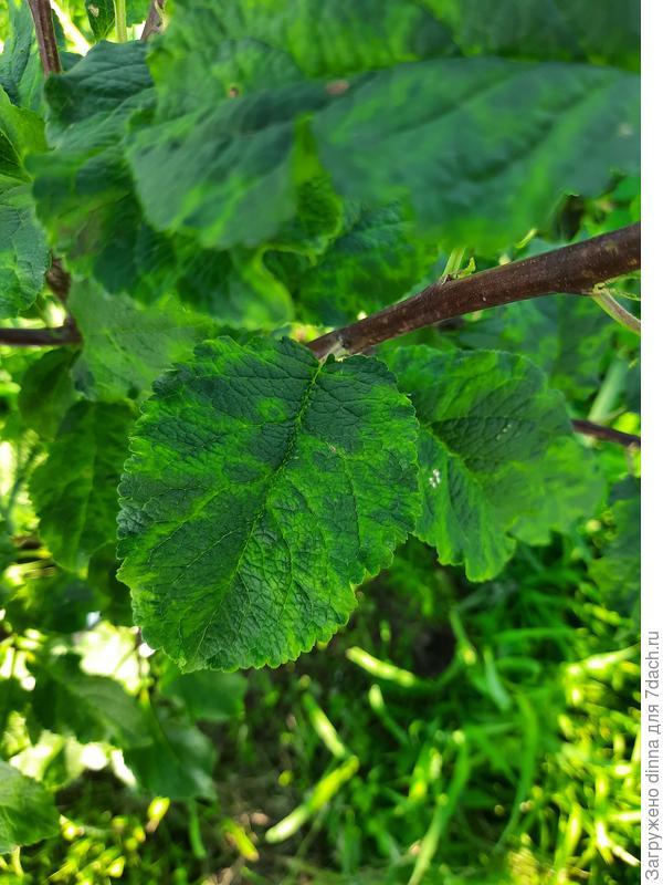 Почему листья сливы стали пятнистыми? Чего сливе не хватает?