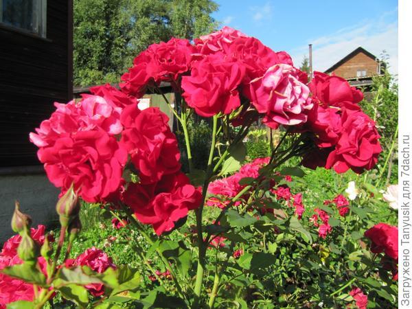 Мои розы. Часть 1. Флорибунды