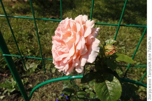 Мои розы. Часть 3. Плетистые и клаймберы