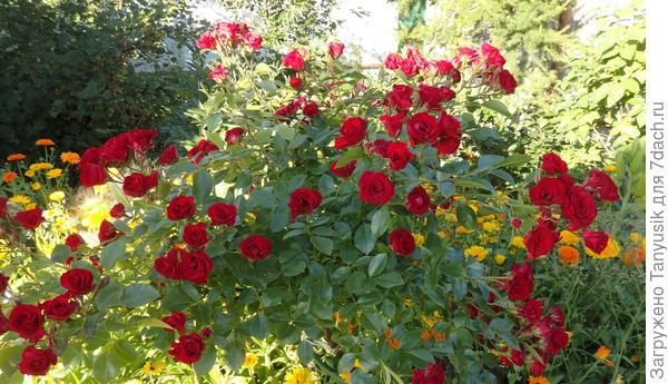 Мои розы. Часть 4. Штамбовые