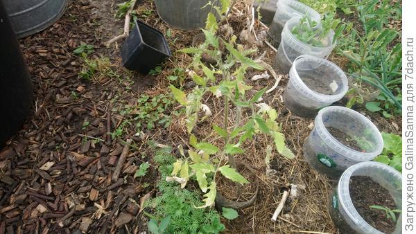 Почему листья рассады томатов желтеют и сохнут?