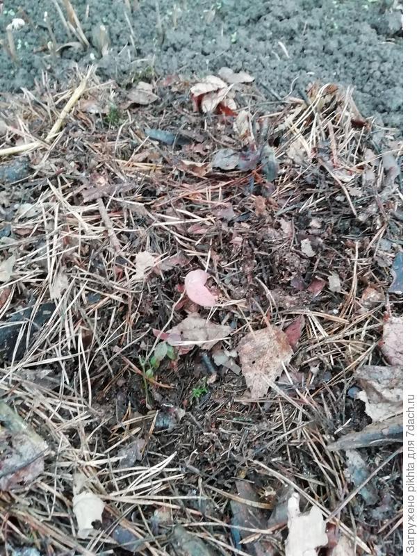 Можно ли оставить зимовать молодые саженцы в гнездах из елового отпада, коры и шишек?