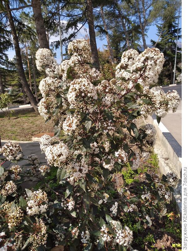 Как правильно называется вечнозелёное цветущее растение?