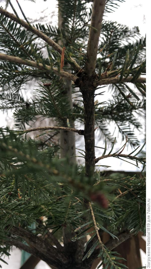Тис частично теряет иголки. Как вылечить дерево?