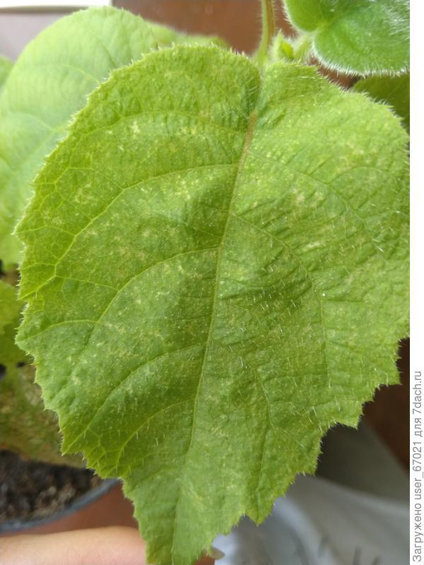Сухие пятна на листьях киви. Что это может быть такое?