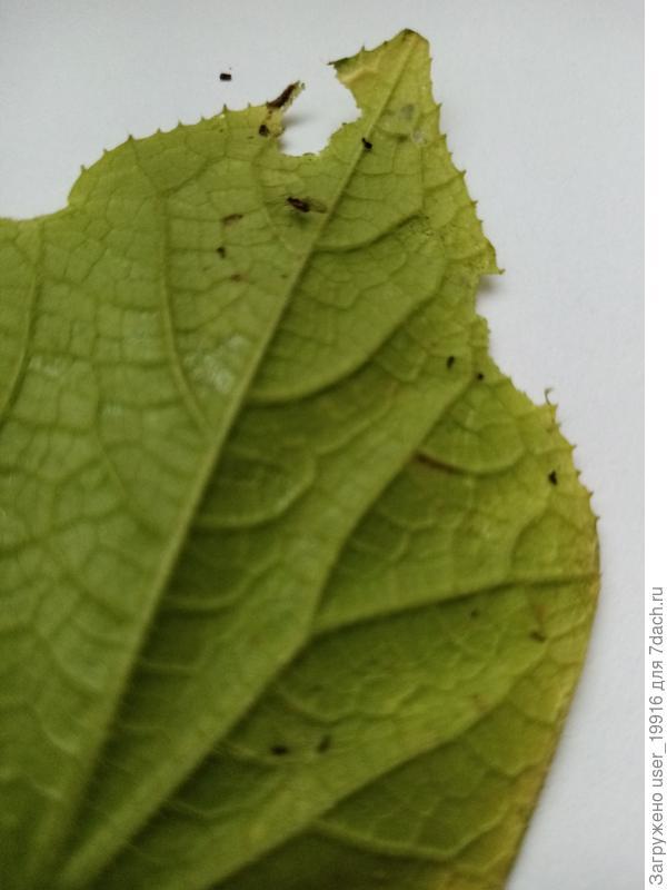 Какой вредитель грызет лист?