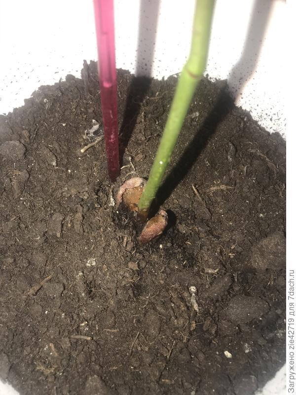 Авокадо перестало расти. Как его спасти?