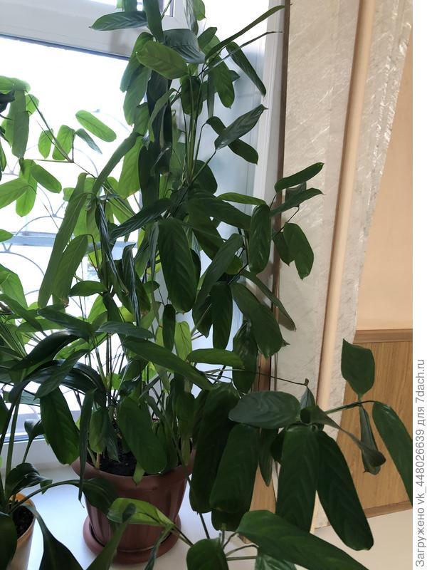 Тот же самое растение, только более взрослое! Ну что какие идеи у вас, что это?