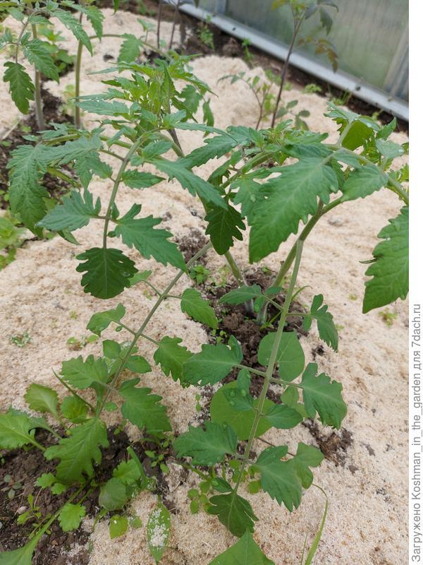 Высадка рассады томатов в теплицу