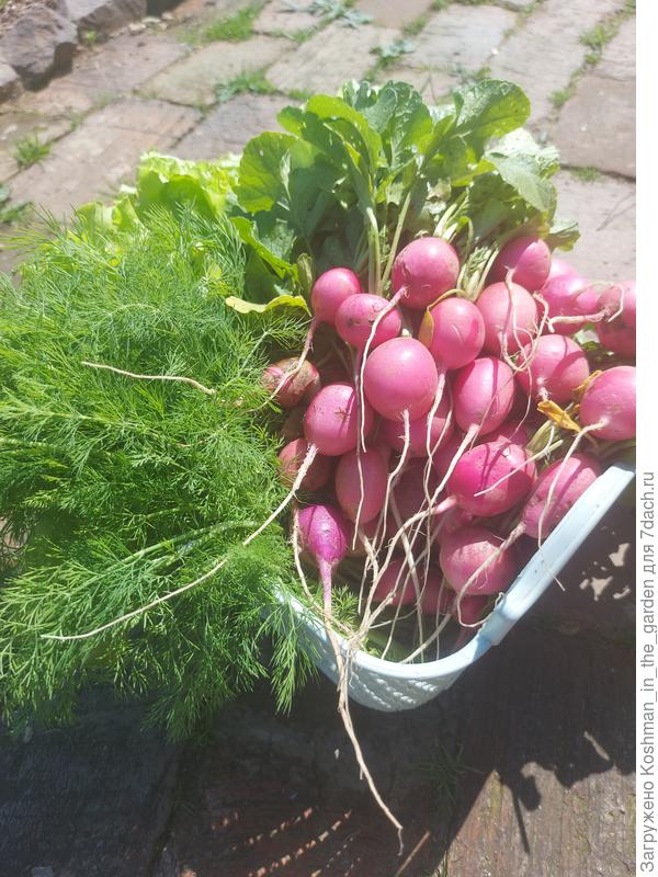 Урожай редиса 'Пинк Сюрприз' и редиса 'Фиолетовая королева' в открытом грунте
