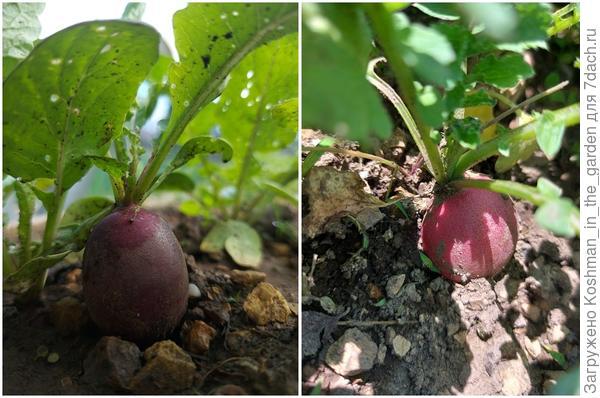 Уход за редисом 'Фиолетовая королева' и 'Пинк Сюрприз' в открытом грунте