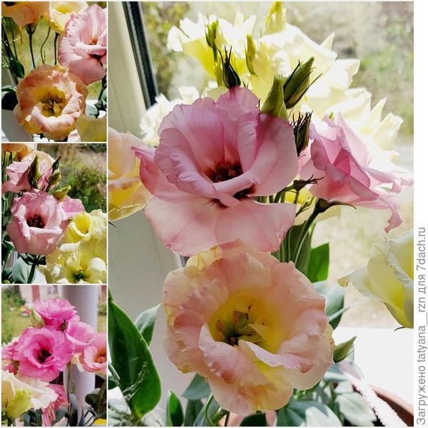 Согласитесь цветок просто шикарен, увидев его, конечно хочется попробовать вырастить такое чудо!