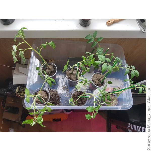 Почему рассада томатов чахнет, листья частично скручиваются или вянут?