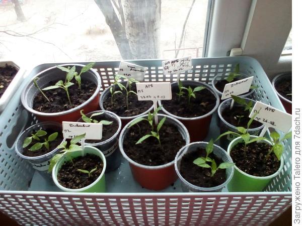 Все имеющиеся в наличии ростки перца, их около трёх десятков, но парочка выглядит откровенно слабенькой