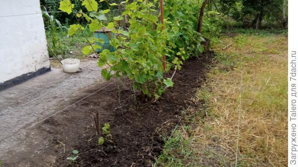 Неправильное лето: дождь идёт, виноград болеет