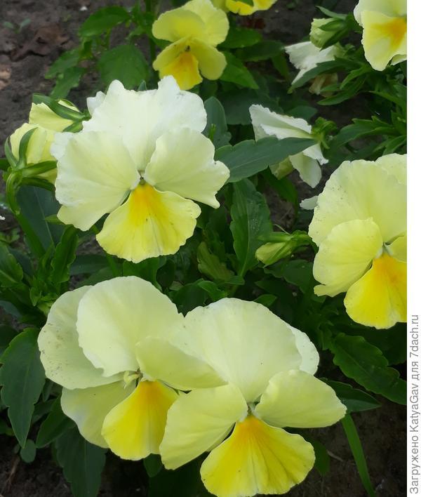 Барон Ванильный, цветки до 6 см!
