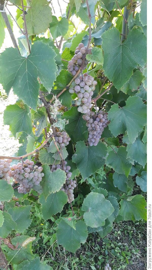 Виноград неизвестного сорта