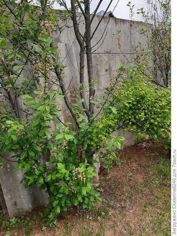 На молодом деревце вишни появилась ветка с иными листьями, отличными от основного дерева. Что с вишней произошло?