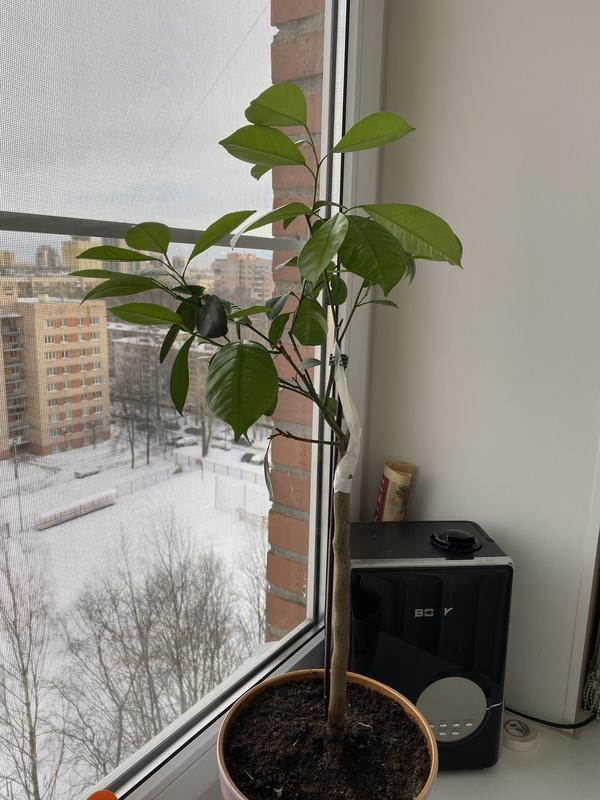 Деревце мандарина . Худо спасения деревца , с помощью  , Франса Халилова!!    Было плодоносящее  не менее 20-30 мандаринок . Осталась одна веточка . Сейчас проснулось и начало достаточно активно рости . Листья крупные лезут, видимо теневые... хотелось бы правильно сформировать крону.  Спасибо за помощь!