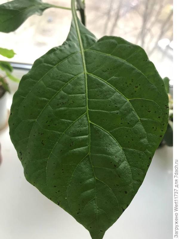 Лист перца с черными пятнами