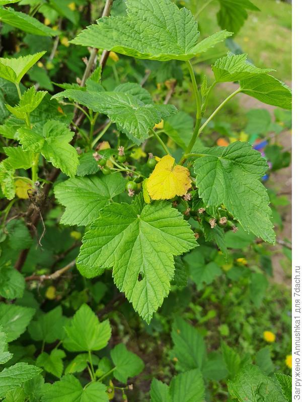 Почему желтеют и опадают листья смородины?