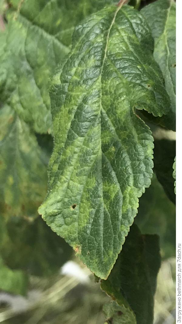 Что за пятна на листьях сливы?