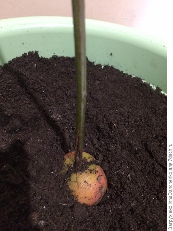 Сохнут листья авокадо. Как помочь растению?