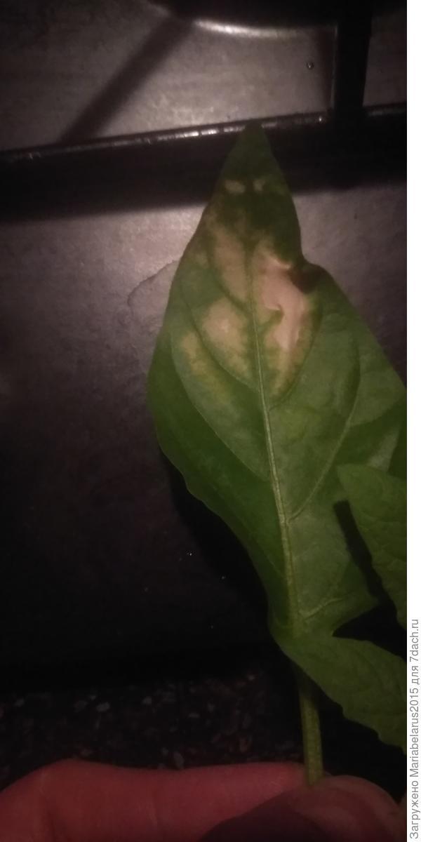 На листьях перца и томата коричневые пятна. Что с рассадой?
