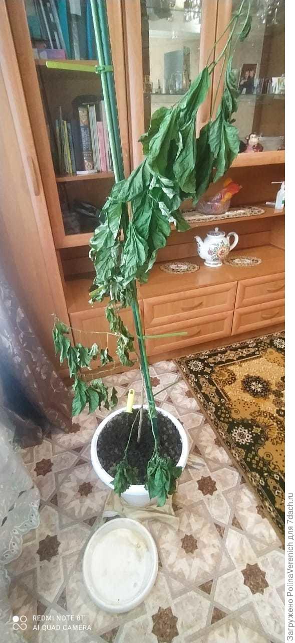 Пересадила цветок гибискус, и при пересадке по не осторожности его залила, подскажите что делать я из Ростовской области.