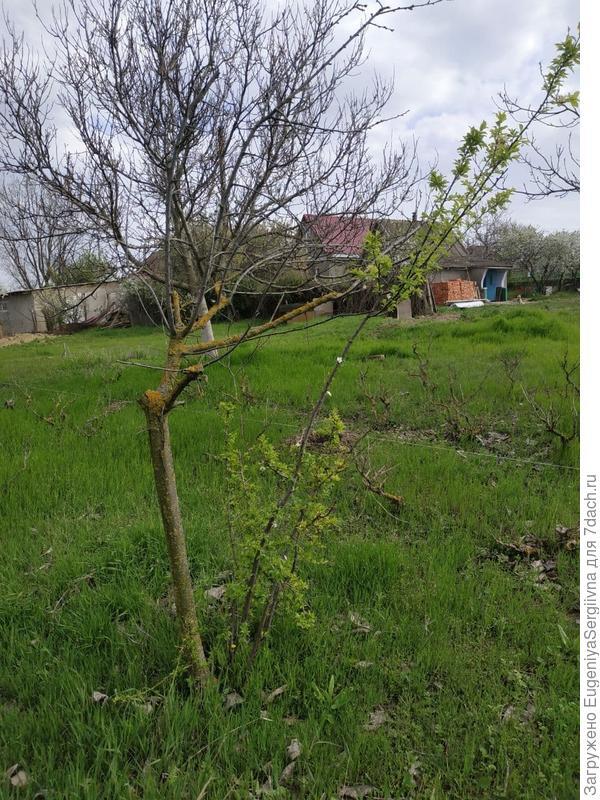 Предположительно, слива. Основное дерево сухое, вокруг него - молодая зеленеющая поросль.