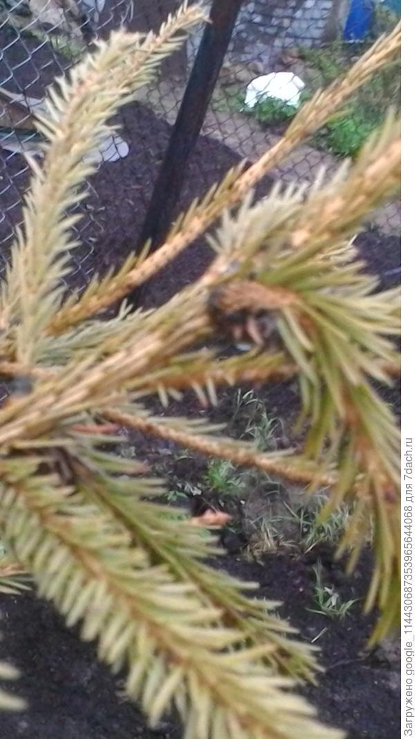 В узлах веточек у ели черные точки, почки закладываются, но иголки на почках закручиваются. Какая это болезнь?