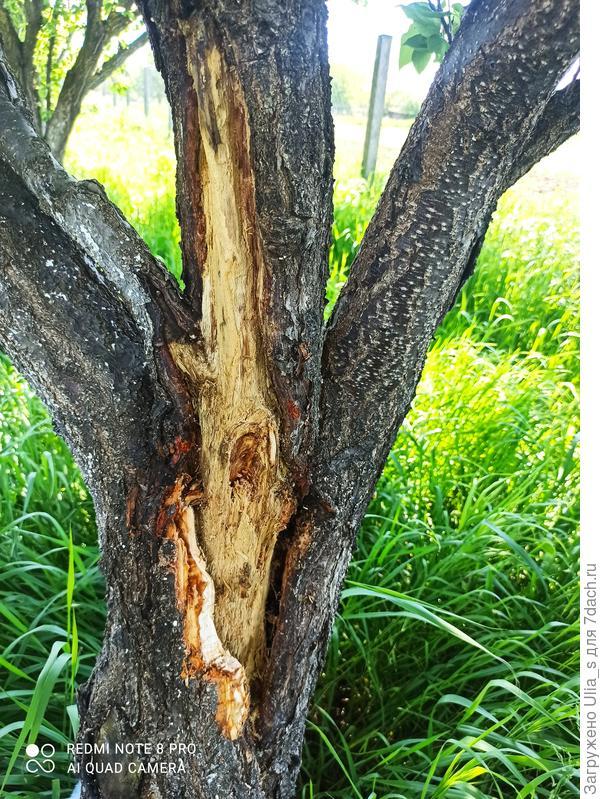 Рана на стволе абрикоса. Как вылечить дерево?