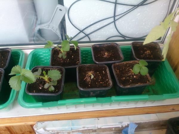 Проращиваю клубнику в горшочках. Как часто поливать?