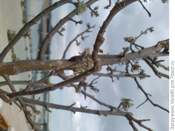 Яблони ужасно пострадали от паутинного клеща. Есть ли шанс спасти?