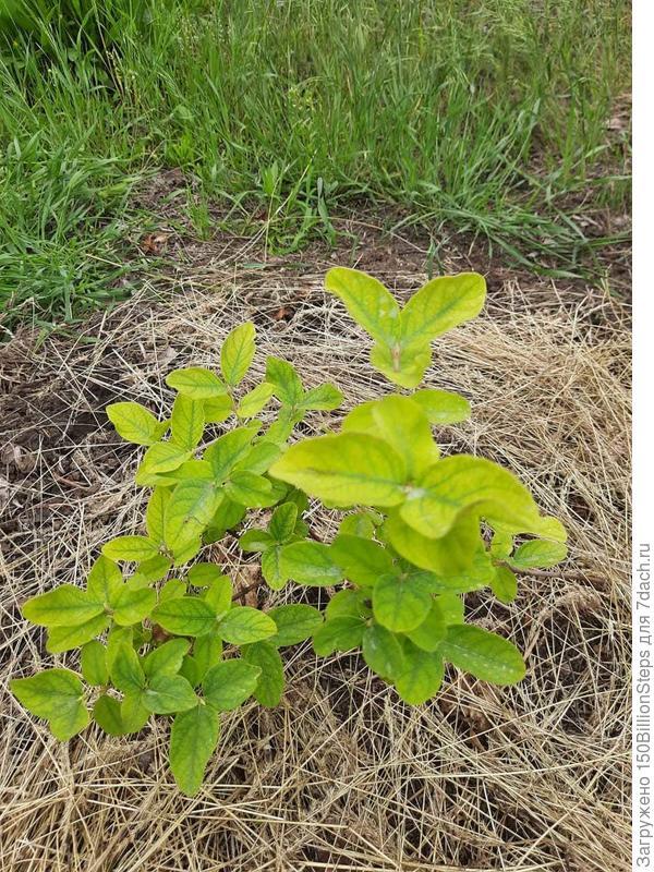 У жимолости съедобной желтеют листья. Чем ей помочь?