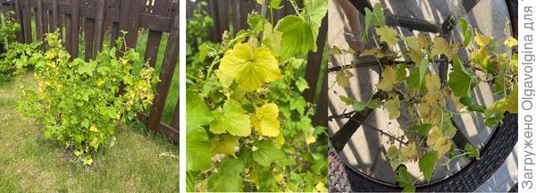 Почему на черной смородине желтеют листья, засыхают, загибаются грозди с ягодами?