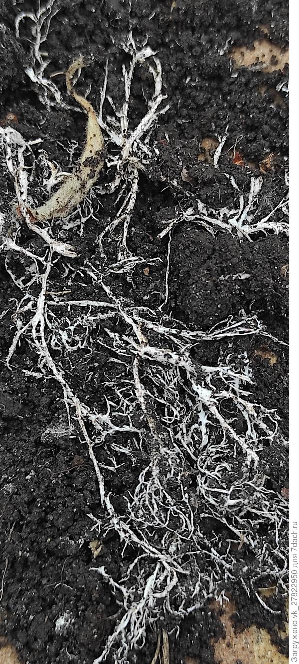 В почве обнаружена субстанция, похожая на белые корешки. Что это такое и как с этим бороться?