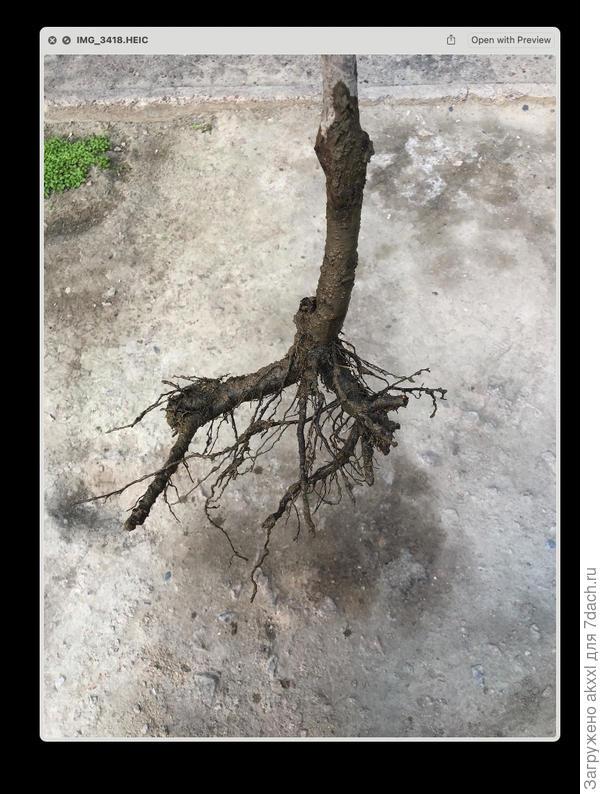 Как определить подвой по корням? Клоновый или семенной?