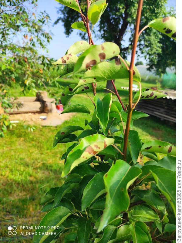 На распустившихся листьях груши темные пятна. Как спасти дерево?
