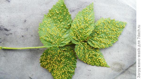 Желтые точки на листьях малины и шиповника - вредитель или болезнь? Как вылечить?