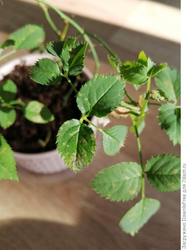 Почему на листьях розы Кордана появились светло-коричневые пятна с черными точками?