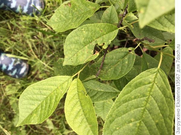 Почему на листьях черемухи появляются пятна?