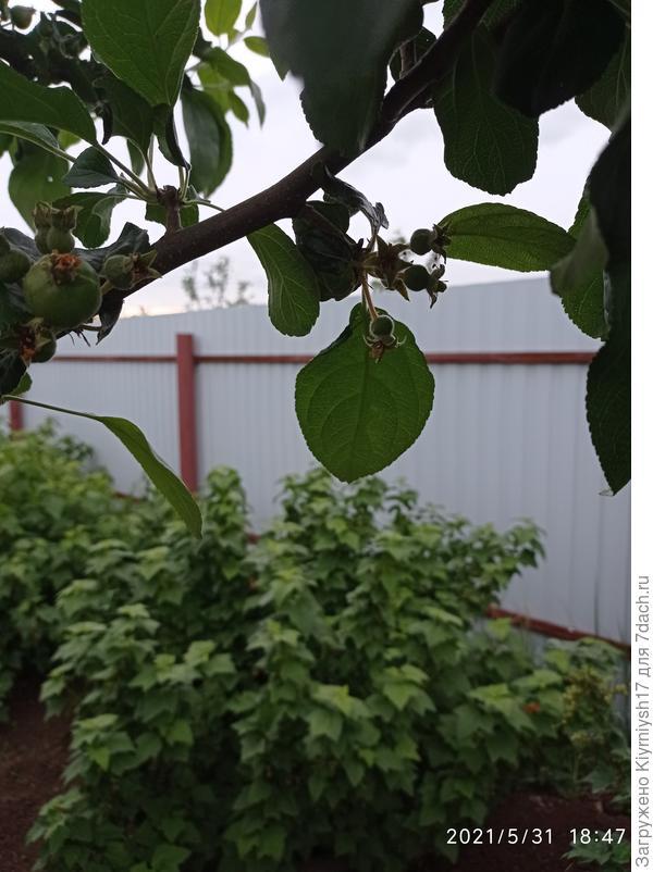 Второй год подряд на груше осыпаются плоды. Как бороться с этим?