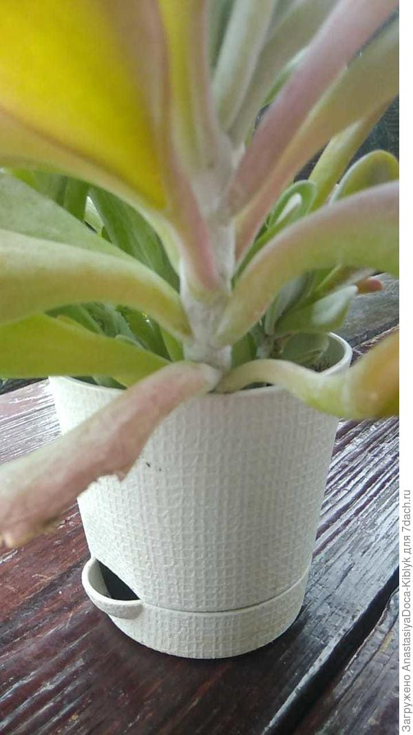На листьях каланхоэ монстроза появился налет, похожий на плесень. Что это? И как с ним бороться?