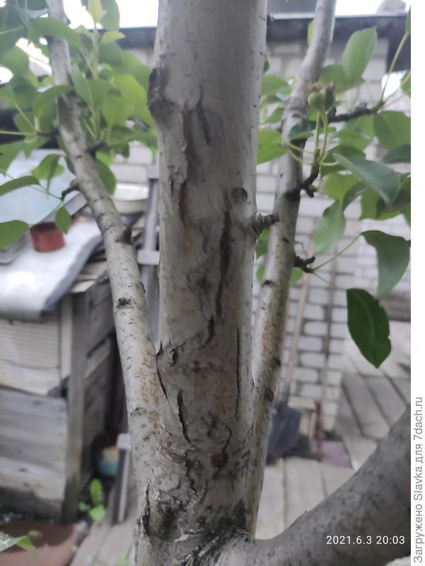 Какая болезнь поразила грушу? Чем ее лечить?