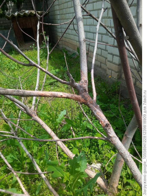 Почему в июне у инжира нет листьев, ствол покрыт рыжими пятнами?