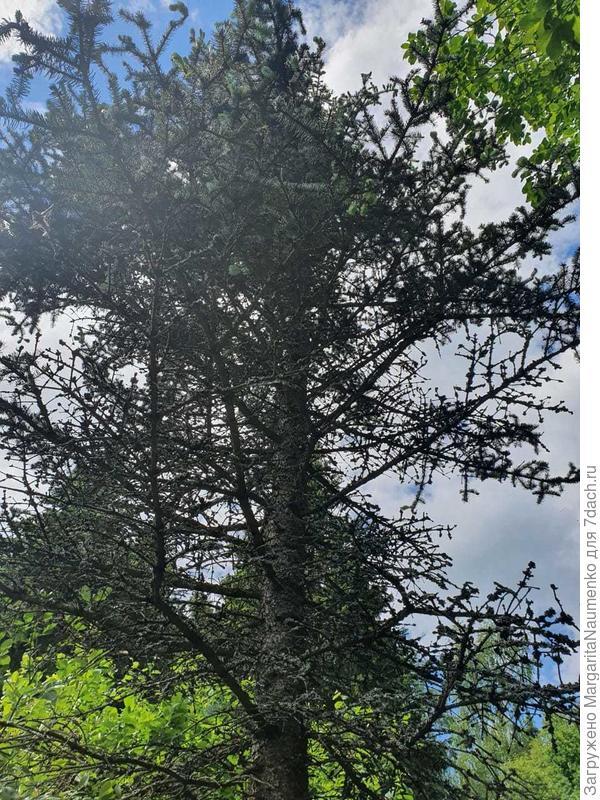 Как спасти наполовину высохшую голубую ель?