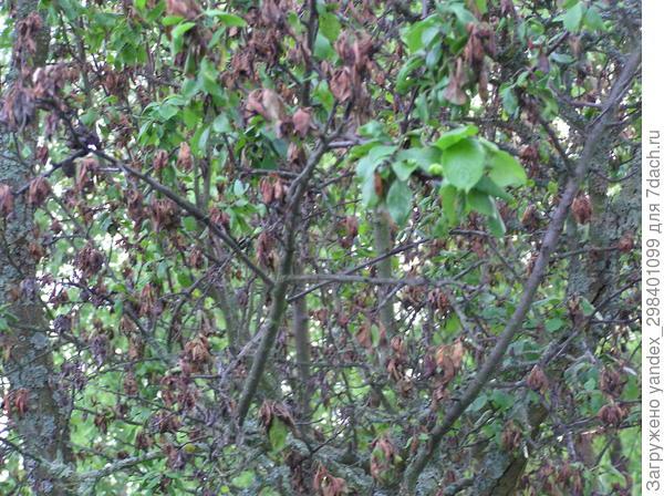 На внутренней стороне листьев терна точечный налет, листья засыхают. Это болезнь или вредители?